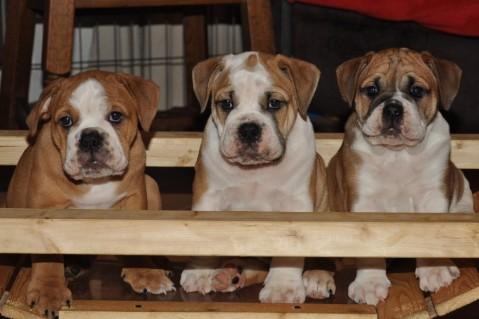 Continental Bulldogs Seeblickbulls 121111