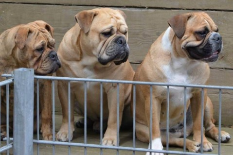 Continental Bulldogs Seeblickbulls 161128